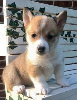 Welsh Corgi Puppies for sale in Petaluma, CA 94953, USA. price: NA