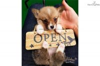 Welsh Corgi Puppies for sale in New York, NY, USA. price: NA