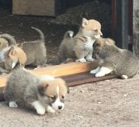 Welsh Corgi Puppies for sale in Honolulu, HI 96826, USA. price: NA