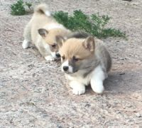 Welsh Corgi Puppies for sale in Chattanooga, TN 37401, USA. price: NA