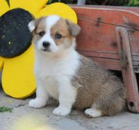 Welsh Corgi Puppies for sale in Allston, MA 02134, USA. price: NA