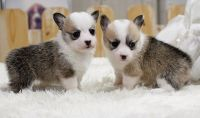 Welsh Corgi Puppies for sale in Newton Lower Falls, Newton, MA, USA. price: NA