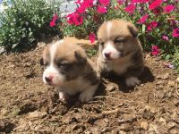 Welsh Corgi Puppies for sale in Alabama Ave, Paterson, NJ, USA. price: NA