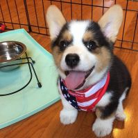 Welsh Corgi Puppies for sale in Missouri City, TX, USA. price: NA