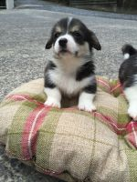 Welsh Corgi Puppies for sale in Addison, TX 75001, USA. price: NA