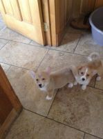 Welsh Corgi Puppies for sale in Michigan City, IN, USA. price: NA