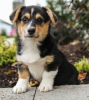 Welsh Corgi Puppies for sale in Minneapolis, MN, USA. price: NA