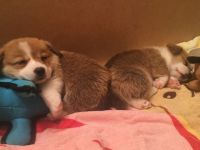 Welsh Corgi Puppies for sale in Dallas, TX, USA. price: NA