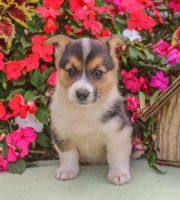 Welsh Corgi Puppies for sale in Las Vegas, NV, USA. price: NA