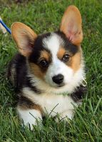 Welsh Corgi Puppies for sale in Independence, MO, USA. price: NA