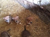 Welsh Corgi Puppies for sale in Texas Ave, Houston, TX, USA. price: NA
