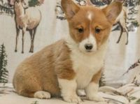 Welsh Corgi Puppies for sale in New York, NY 10013, USA. price: NA
