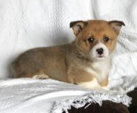 Welsh Corgi Puppies for sale in Alexandria, OH 43001, USA. price: NA