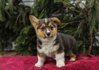 Welsh Corgi Puppies for sale in Washington, DC 20068, USA. price: NA