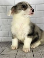 Welsh Corgi Puppies for sale in Chicago, IL, USA. price: NA