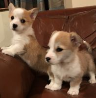 Welsh Corgi Puppies for sale in Newark, NJ, USA. price: NA