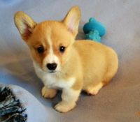 Welsh Corgi Puppies for sale in San Antonio, TX 78212, USA. price: NA