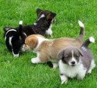 Welsh Corgi Puppies for sale in Miami Beach, FL, USA. price: NA