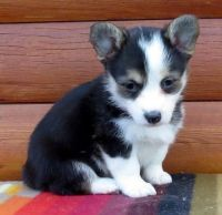 Welsh Corgi Puppies for sale in 10043 Museum Mile, New York, NY 10028, USA. price: NA