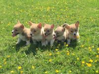 Welsh Corgi Puppies for sale in Browns Summit, NC 27214, USA. price: NA