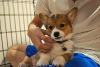 Welsh Corgi Puppies for sale in Houston, TX, USA. price: NA