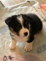 Welsh Corgi Puppies for sale in Coloma, MI 49038, USA. price: NA
