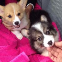Welsh Corgi Puppies for sale in Idaho Springs, CO, USA. price: NA