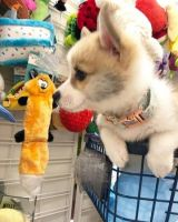 Welsh Corgi Puppies for sale in Los Angeles, CA 90021, USA. price: NA