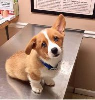 Welsh Corgi Puppies for sale in Ashburn, VA, USA. price: NA