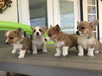 Welsh Corgi Puppies Photos