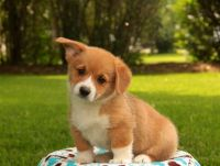 Welsh Corgi Puppies for sale in KY-146, Louisville, KY, USA. price: NA