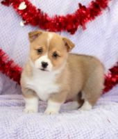 Welsh Corgi Puppies for sale in NC-54, Durham, NC, USA. price: NA
