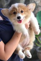 Welsh Corgi Puppies for sale in Charlotte, NC, USA. price: NA