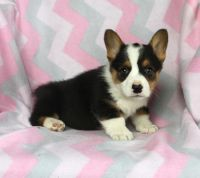Welsh Corgi Puppies for sale in White River Junction, Hartford, VT, USA. price: NA