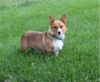 Welsh Corgi Puppies for sale in Woodman, WI, USA. price: NA