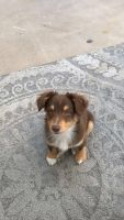 Welsh Corgi Puppies for sale in St. George, UT, USA. price: NA