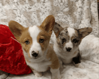 Welsh Corgi Puppies for sale in 2526 Unicornio St, Carlsbad, CA 92009, USA. price: NA