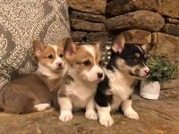 Welsh Corgi Puppies for sale in Kansas City, MO, USA. price: NA
