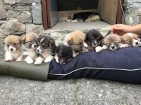 Welsh Corgi Puppies for sale in Abiquiu, NM 87510, USA. price: NA