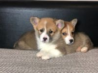 Welsh Corgi Puppies for sale in Alabama City, Gadsden, AL 35904, USA. price: NA