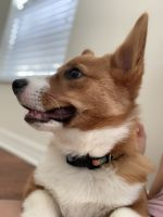 Welsh Corgi Puppies for sale in Tampa-St. Petersburg Metropolitan Area, FL, USA. price: NA
