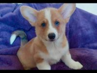 Welsh Corgi Puppies for sale in Clermont, FL 34711, USA. price: NA
