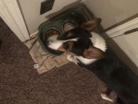 Welsh Corgi Puppies for sale in Edmond, OK, USA. price: NA