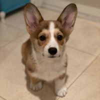 Welsh Corgi Puppies for sale in San Francisco, CA, USA. price: NA