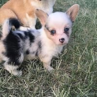 Welsh Corgi Puppies for sale in MD-355, Frederick, MD, USA. price: NA