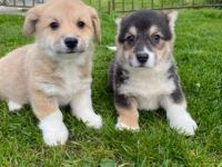 Welsh Corgi Puppies for sale in Jacksonville, FL, USA. price: NA