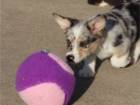 Welsh Corgi Puppies for sale in Oregon City, OR 97045, USA. price: NA