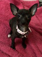 Welsh Corgi Puppies for sale in Phoenix, AZ, USA. price: NA