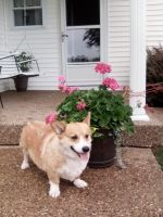Welsh Corgi Puppies for sale in Cub Run, KY 42729, USA. price: NA