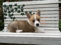 Welsh Corgi Puppies for sale in Denver, CO 80205, USA. price: NA